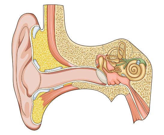 A orelha traduz estímulos mecânicos em impulsos nervosos