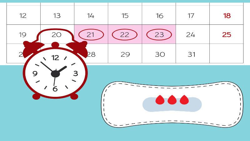A ovulação ocorre cerca de 13 a 15 dias antes da próxima menstruação
