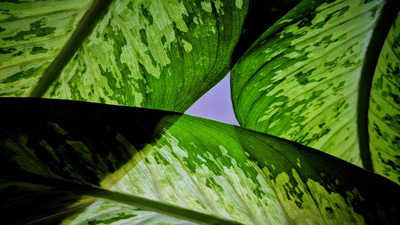 A planta comigo-ninguém-pode (<i>Dieffenbachia picta</i>) é uma das que mais causam intoxicações na população