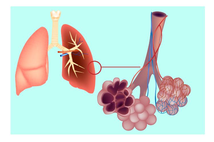 A respiração pulmonar está presente em todos os vertebrados terrestres e em alguns animais marinhos