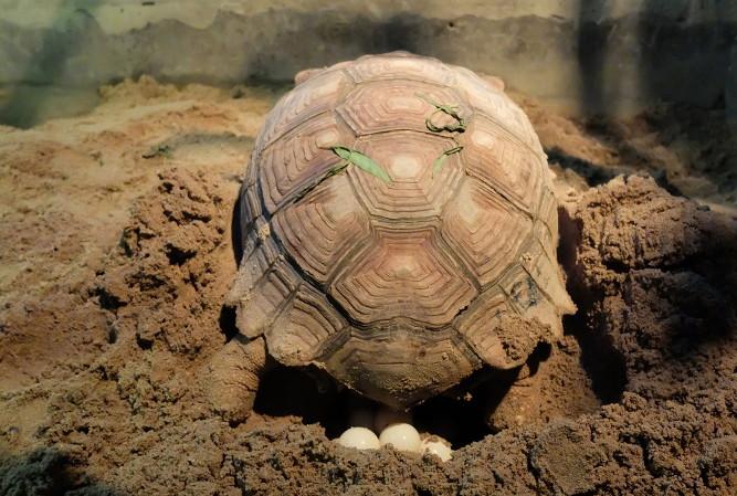 A temperatura durante o tempo de incubação dos ovos é um importante fator na determinação do sexo em répteis