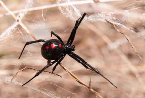 A viúva-negra apresenta canibalismo sexual
