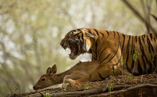 Ao matar um organismo de outra espécie, os animais realizam predação