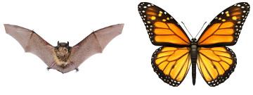 Apesar de ambas servirem para o voo, as asas de morcegos e borboletas não apresentam a mesma origem embrionária