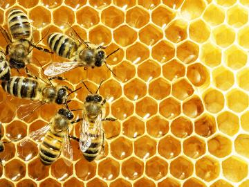 As abelhas vivem em sociedade, cooperando entre si pelo bem de todos