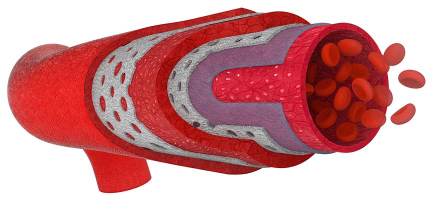 As artérias são constituídas por três camadas: túnica íntima, média e adventícia