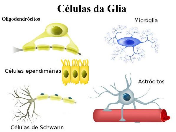 As células da glia apresentam diversos tipos celulares exercendo as mais diversas funções