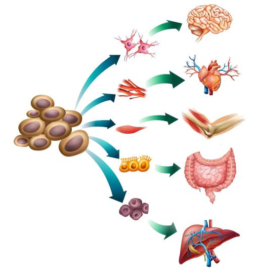 As células-tronco apresentam capacidade de diferenciação e autorrenovação