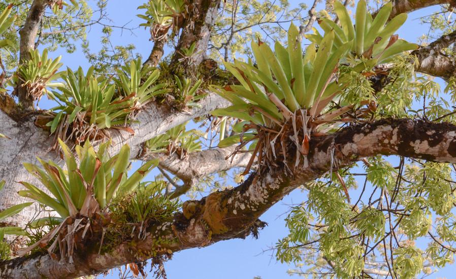 As epífitas usam as árvores como suporte para ter um maior acesso à energia luminosa
