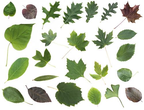 As folhas são órgãos vegetativos que apresentam grande polimorfismo