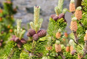 As gimnospermas caracterizam-se pela presença de sementes nuas