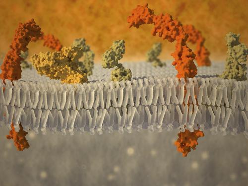 As membranas celulares são formadas por uma bicamada fosfolipídica