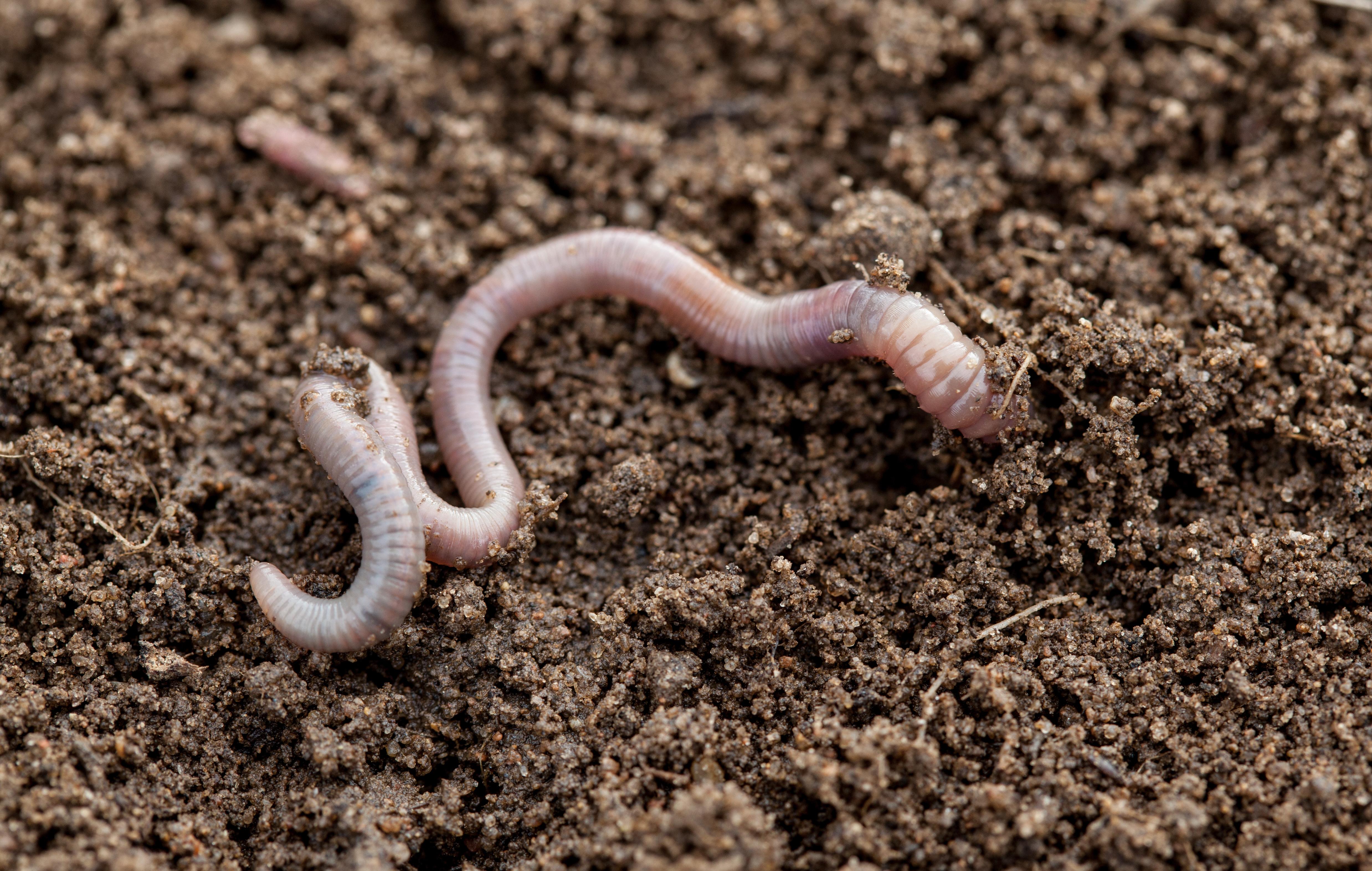 As minhocas produzem o húmus pela decomposição da matéria orgânica durante o processo de digestão