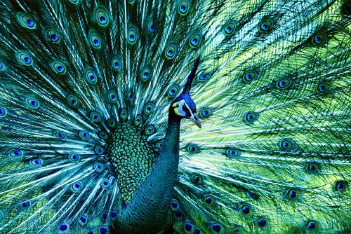 As penas das aves também são utilizadas para a atração de parceiros