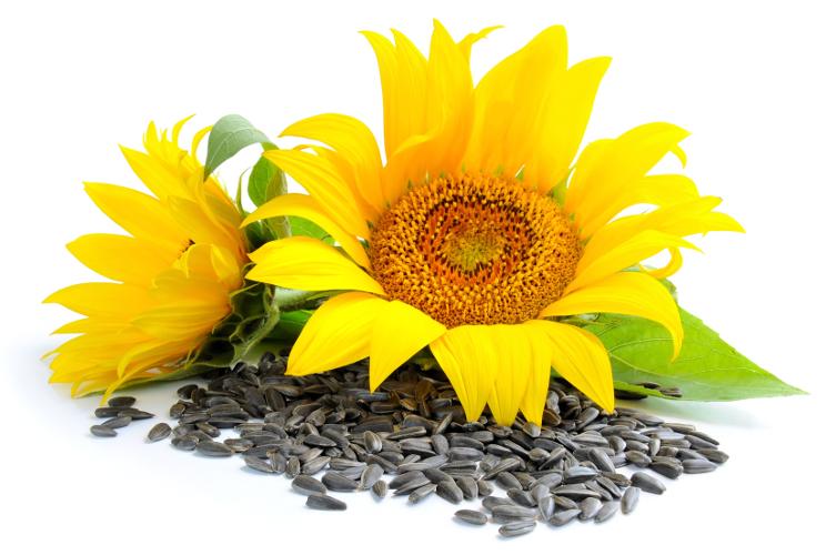 As sementes consistem no embrião da planta revestido com seu suprimento nutricional