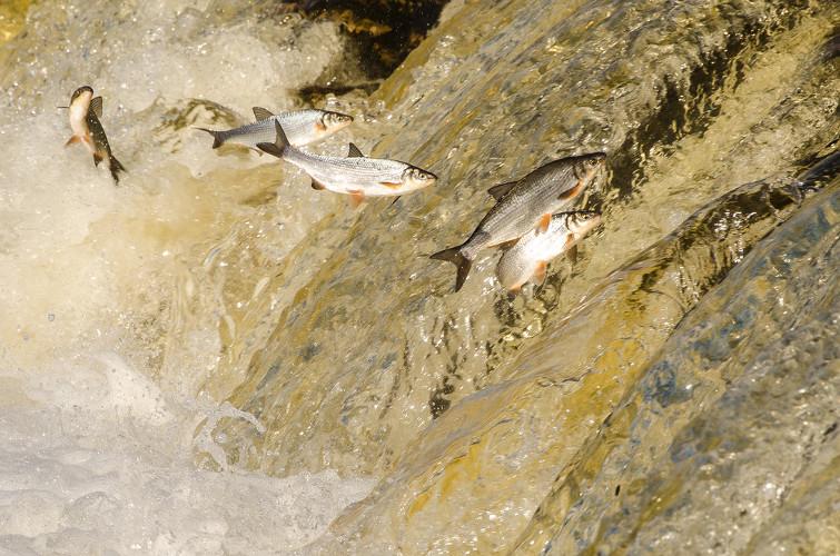 Durante a piracema, os peixes deparam-se com vários obstáculos, como as cachoeiras