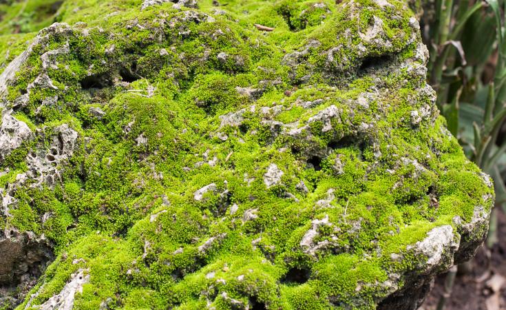 Em briófitas como os musgos, o transporte da seiva ocorre por difusão, isto é, de célula a célula