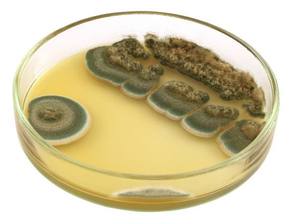 Fungos do gênero <i>Penicillium secretam</i> substâncias que são amplamente utilizadas na medicina como antibióticos