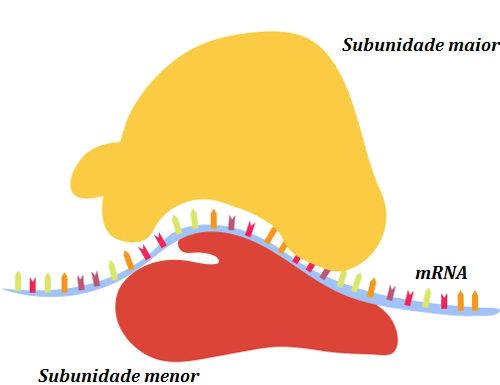 Na figura acima, um ribossomo está produzindo proteína a partir de um RNA mensageiro