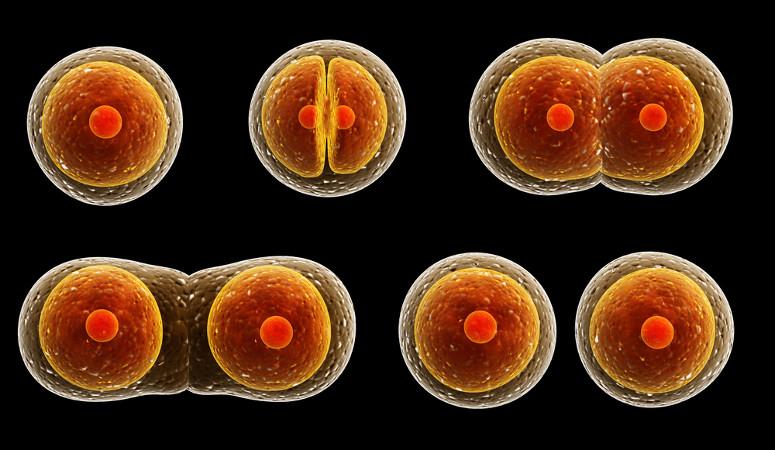 Na mitose, uma célula-mãe origina duas células-filhas com o mesmo número de cromossomos.