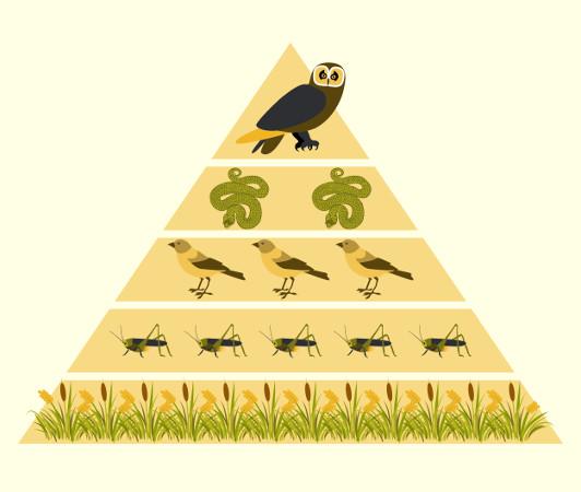 Nas pirâmides de número, cada retângulo indica o número de indivíduos presentes em cada nível trófico