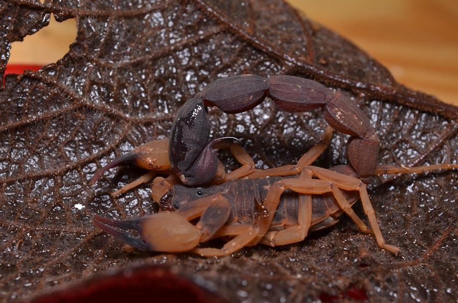 No Brasil, os escorpiões causadores de acidentes pertencem ao gênero <em>Tityus</em>