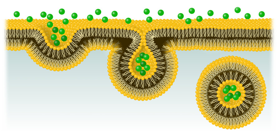 No processo de endocitose, ocorre a invaginação da membrana, englobando a partícula a ser absorvida