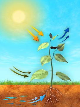 No processo de fotossíntese, ocorre a conversão da energia luminosa em química