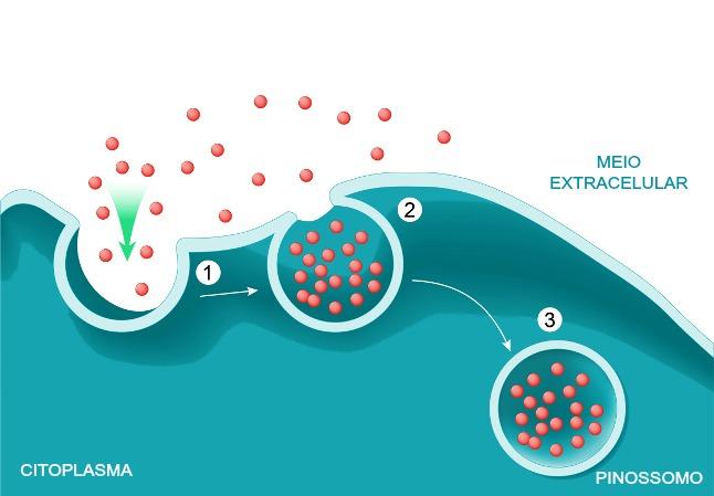 No processo de pinocitose, a membrana celular invagina-se e forma vesículas denominadas pinossomos