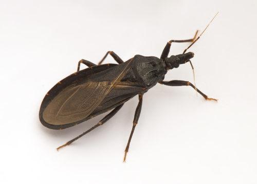 O barbeiro é o vetor da doença de Chagas