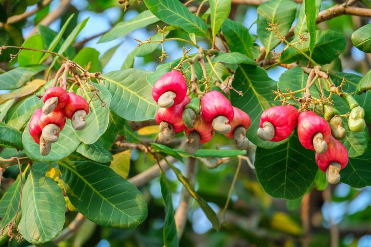 O caju é um pseudofruto simples cuja parte comestível é originada do desenvolvimento do pedúnculo da flor