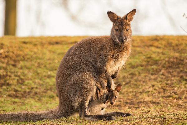 O canguru é um dos exemplos mais conhecidos de marsupiais