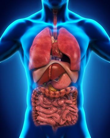 O celoma é uma cavidade formada por tecido derivado da mesoderma, onde estão alojados os órgãos