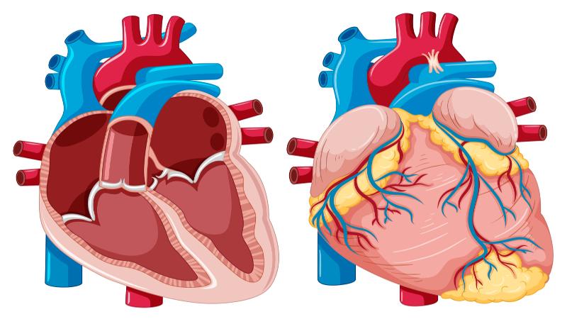 O coração humano, assim como o dos demais mamíferos, apresenta quatro cavidades
