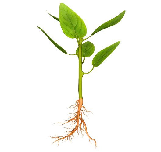 O crescimento de caules e raízes é uma das funções das auxinas