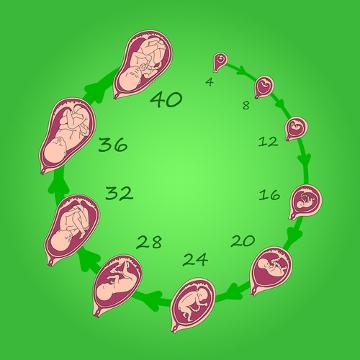 O desenvolvimento embrionário é formado por várias etapas diferentes
