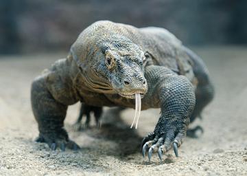 O Dragão-de-komodo é uma espécie de réptil encontrada nas ilhas de Komodo
