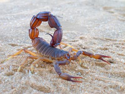 O escorpião é um animal artrópode