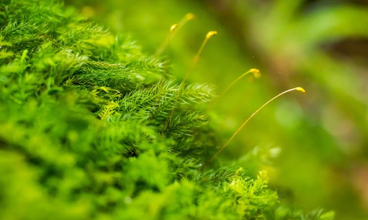 O esporófito das briófitas é constituído por uma haste e uma cápsula e cresce sobre o gametófito