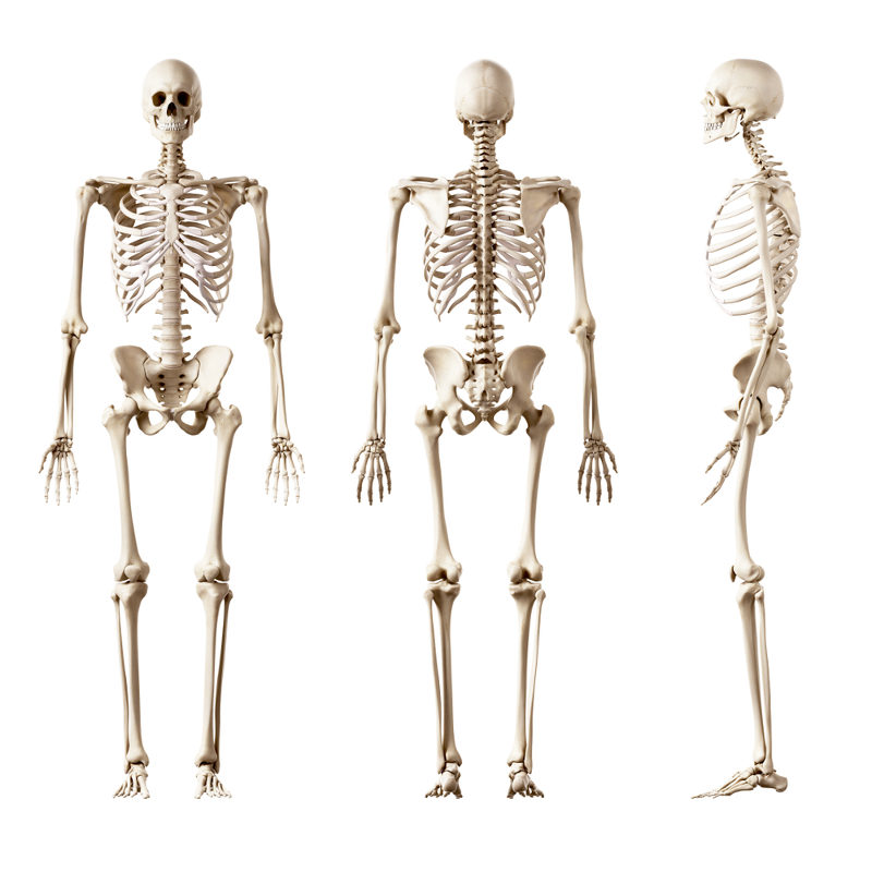 O esqueleto humano é formado por ossos e cartilagens e desempenha funções essenciais no nosso organismo.