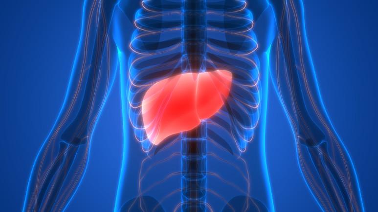 O fígado é um dos órgãos mais volumosos do corpo humano, chegando a pesar 2,5 kg