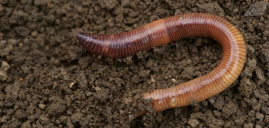O filo Annelida é um dos representantes dos animais protostomados, cuja boca origina-se do blastóporo