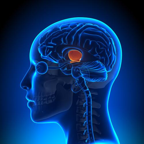 O hipotálamo é a região do diencéfalo responsável por manter a homeostase do organismo.
