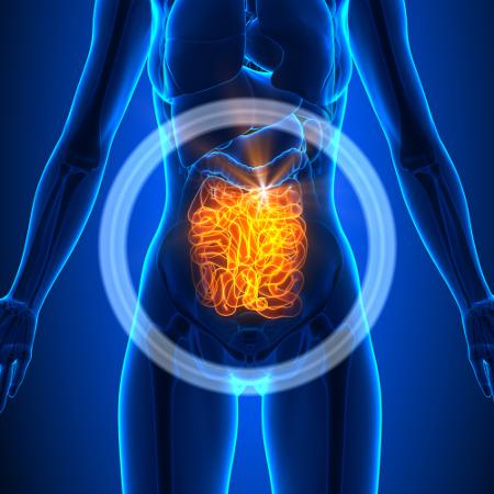 O intestino delgado é divido em três porções – duodeno, jejuno e íleo – e apresenta cerca de 6 m de comprimento