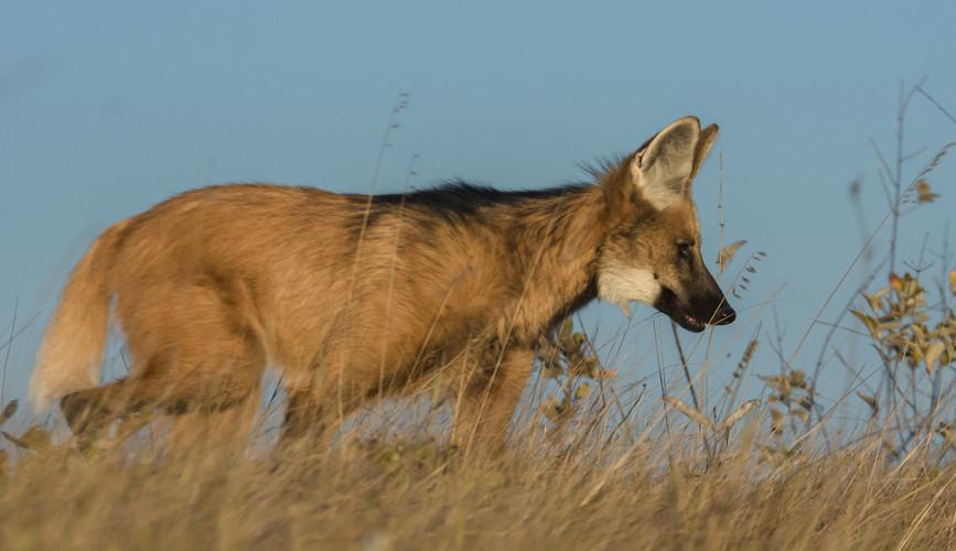 O lobo-guará é um animal típico do Cerrado