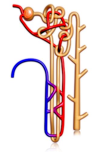 O néfron é constituído por um longo túbulo, denominado de túbulo néfrico, e pelo corpúsculo renal