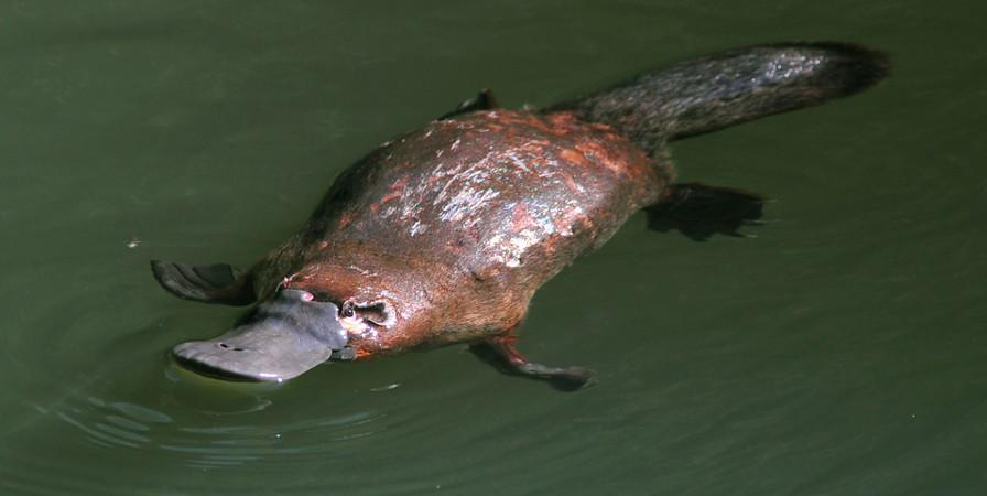 O ornitorrinco é um mamífero com características bem peculiares, como a presença de um bico semelhante ao do pato