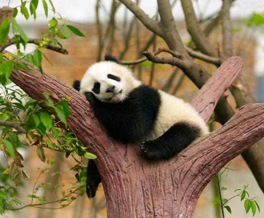O panda é um representante do filo Chordata, subfilo Vertebrata
