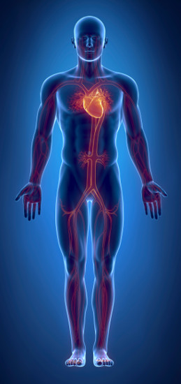 O sistema cardiovascular é formado pelo coração e pelos vasos sanguíneos