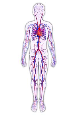 O sistema cardiovascular garante o transporte de gases e nutrientes pelo corpo